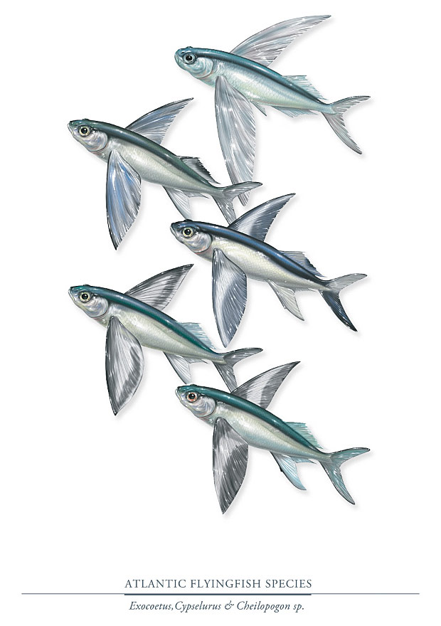 Illustration of 5 species of Atlantic flying fish.