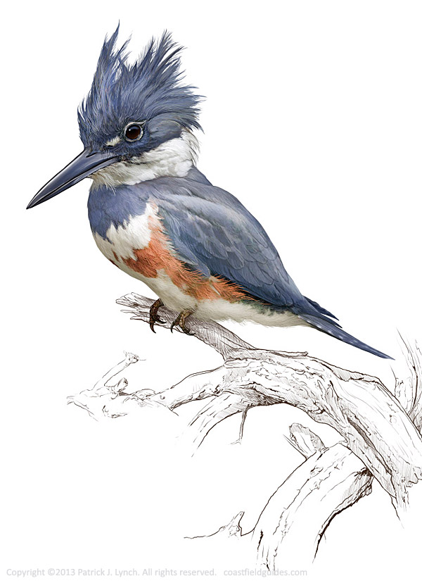 Line Drawing Kingfisher : Limited edition prints patrick lynch