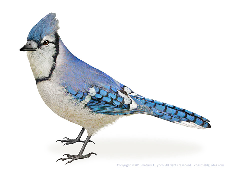 Illustration of a Blue Jay, see in a side view.