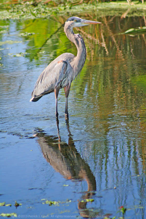 Photo of a Great Blue Heron.