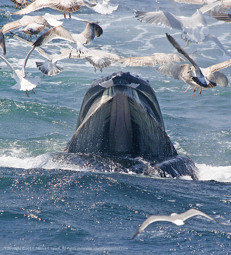 Photo of a young humpback whale feeding at the surface, surrounded by gulls.