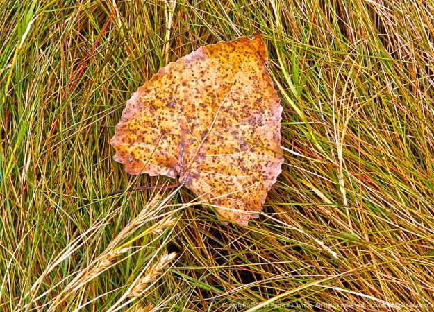 Photo of a faded yellow aspen leaf laying on spike grass in a salt marsh.