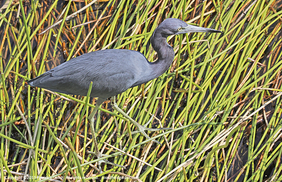 Little Blue Heron walking across tall reeds in a marsh.
