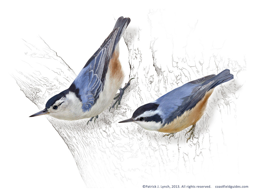 Painting of Red-breasted and White-breasted Nuthatches