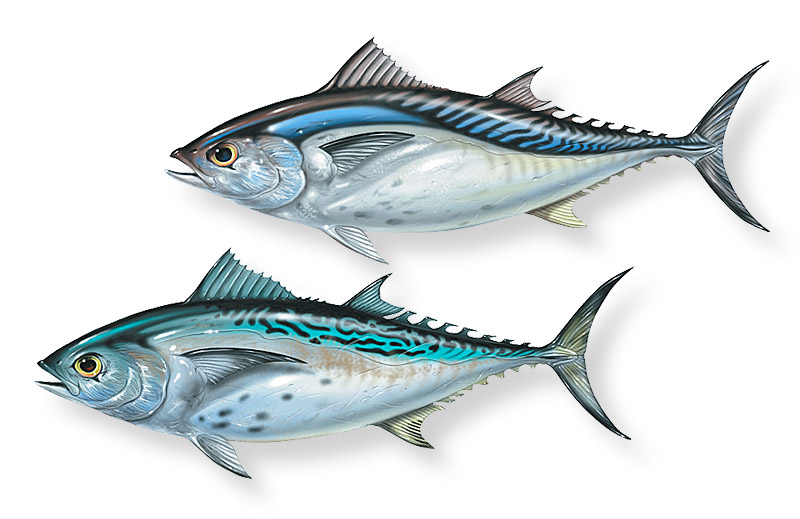 Small tuna species. Copyright 2013 Patrick Lynch. All rights reserved.