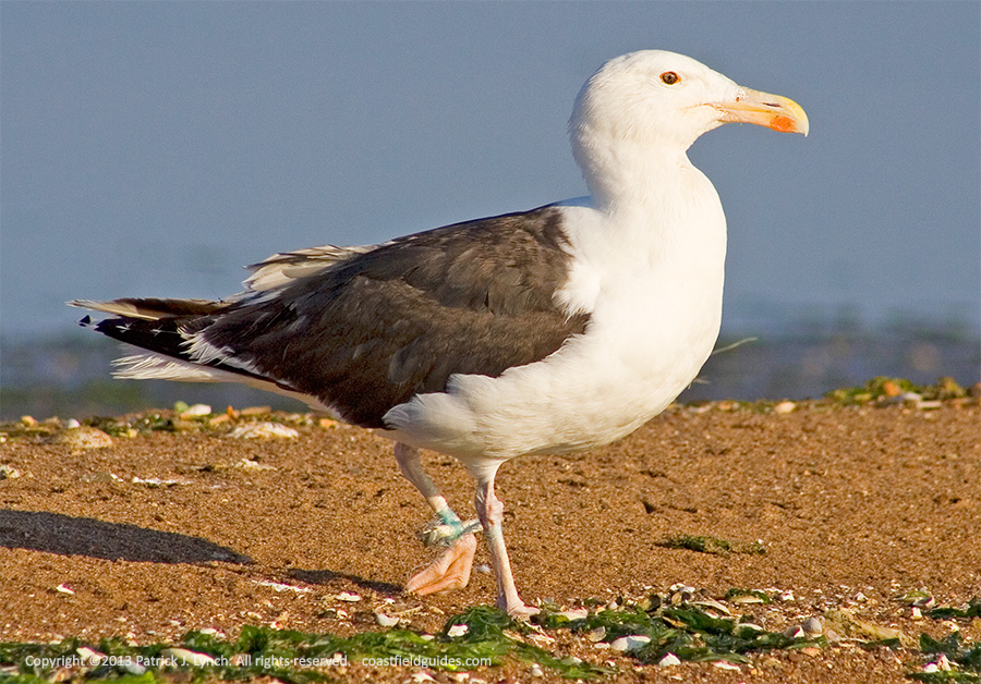 Photo of a Great Black-backed Gull with a leg entangled in fishing line.