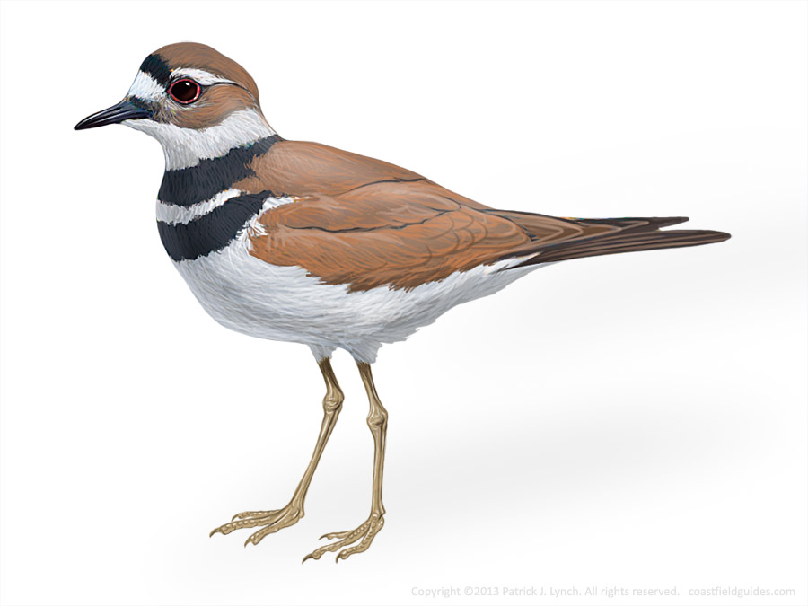 Killdeer illustration.