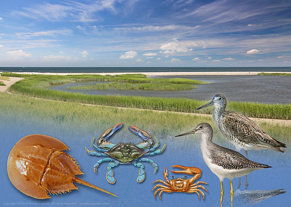 Illustration of the new Horseshoe Crab Sanctuary, with crabs and birds.