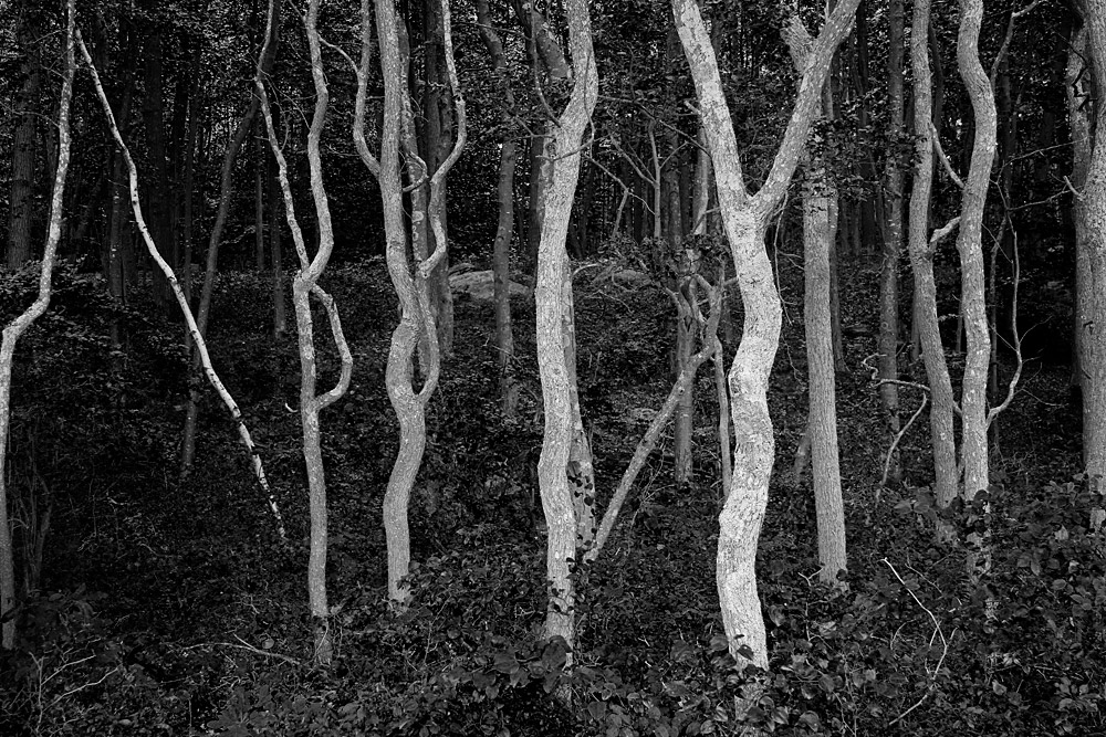 Twisted sassafras tree trunks in a forest.