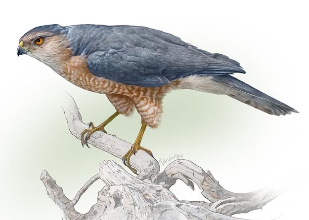 Sharp-shinned Hawk illustration.