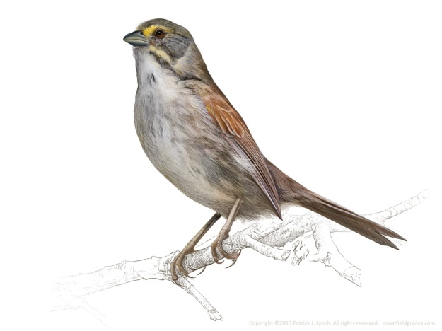 Seaside Sparrow illustration.