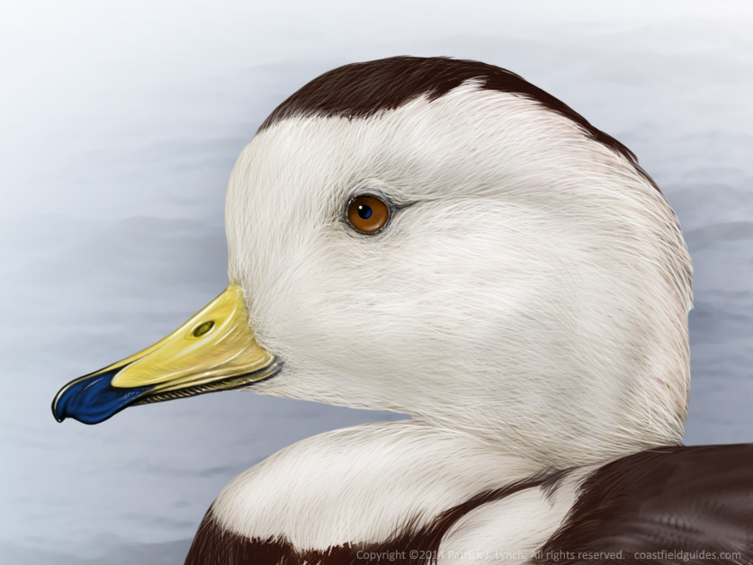 Head detail of a Labrador Duck illustration.