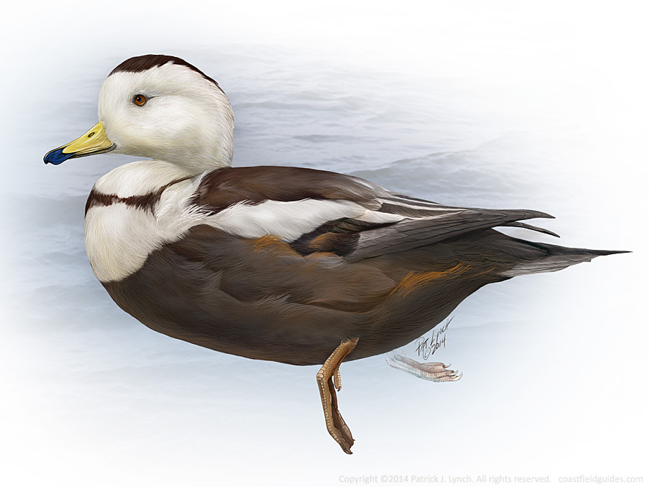 Photoshop illustration of a Labrador Duck.