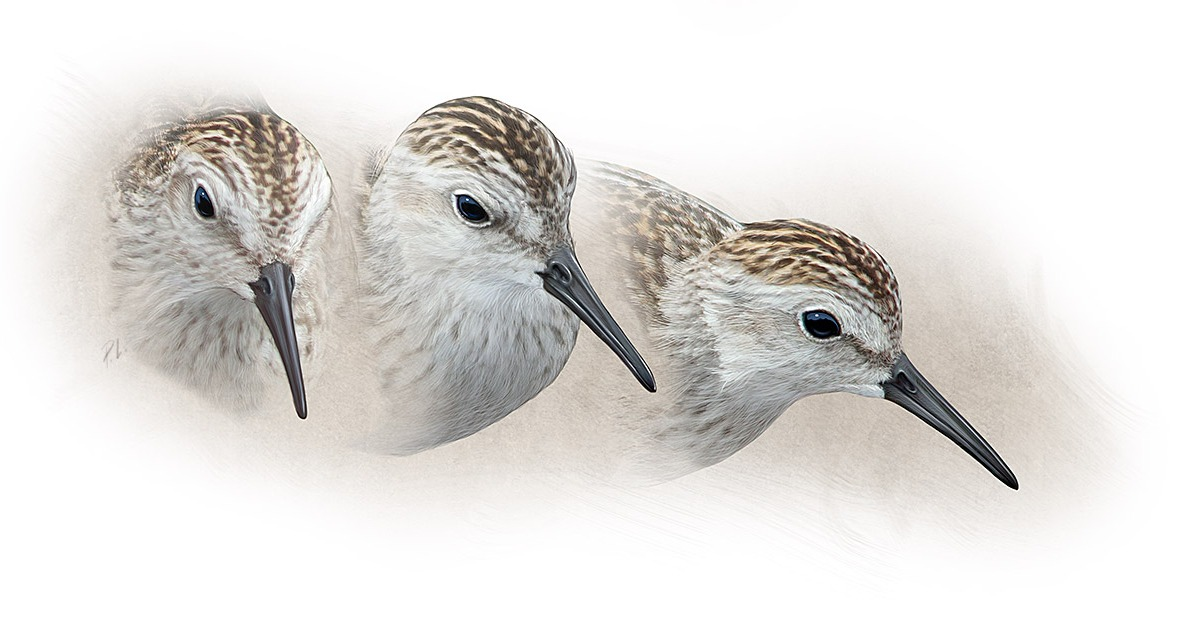 Least Sandpiper head studies, Photoshop.