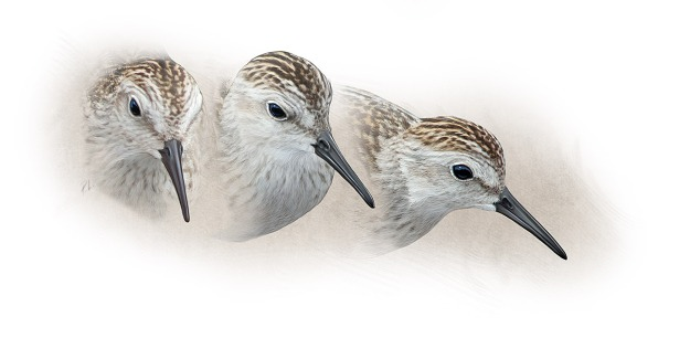 Least Sandpiper studies
