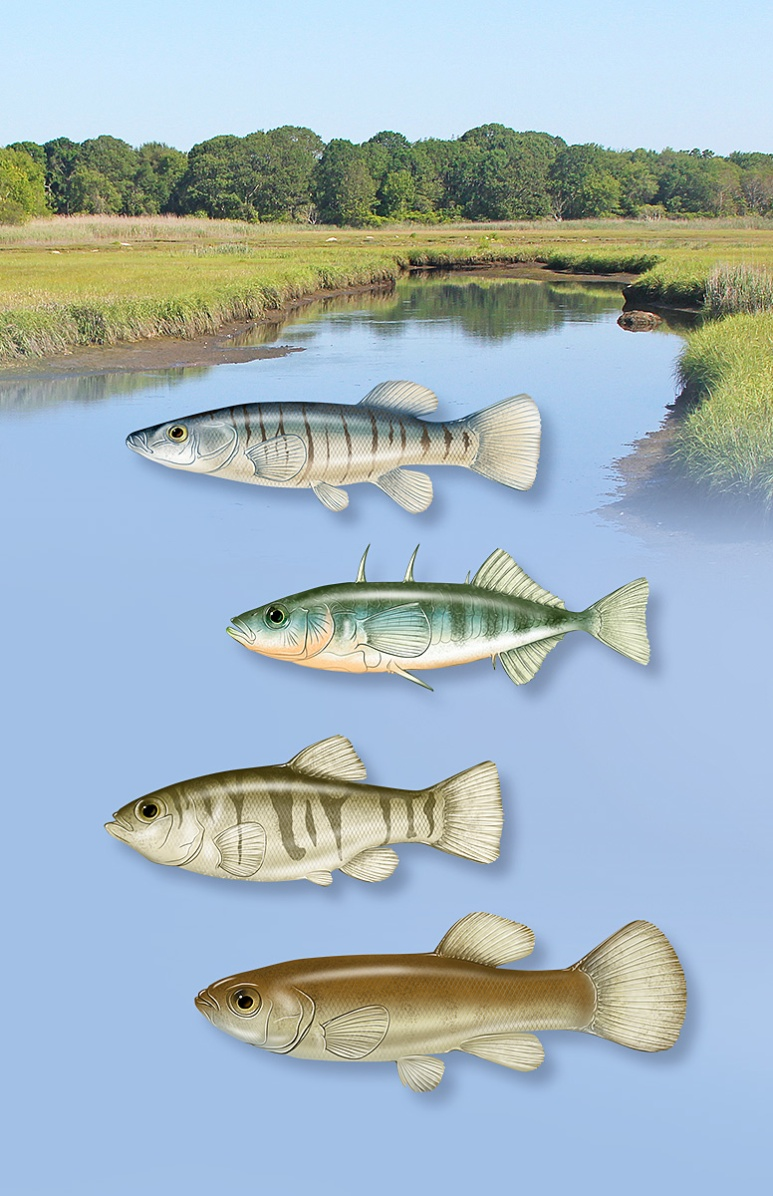 Common small fish of salt marsh creeks around Long Island Sound. Photoshop. ©Patrick J. Lynch, 2017. All rights reserved.
