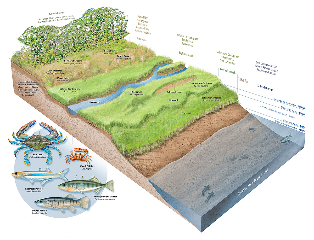 9 9 salt marsh diagram old \u2013 patrick lynch Salt Marsh Mammals