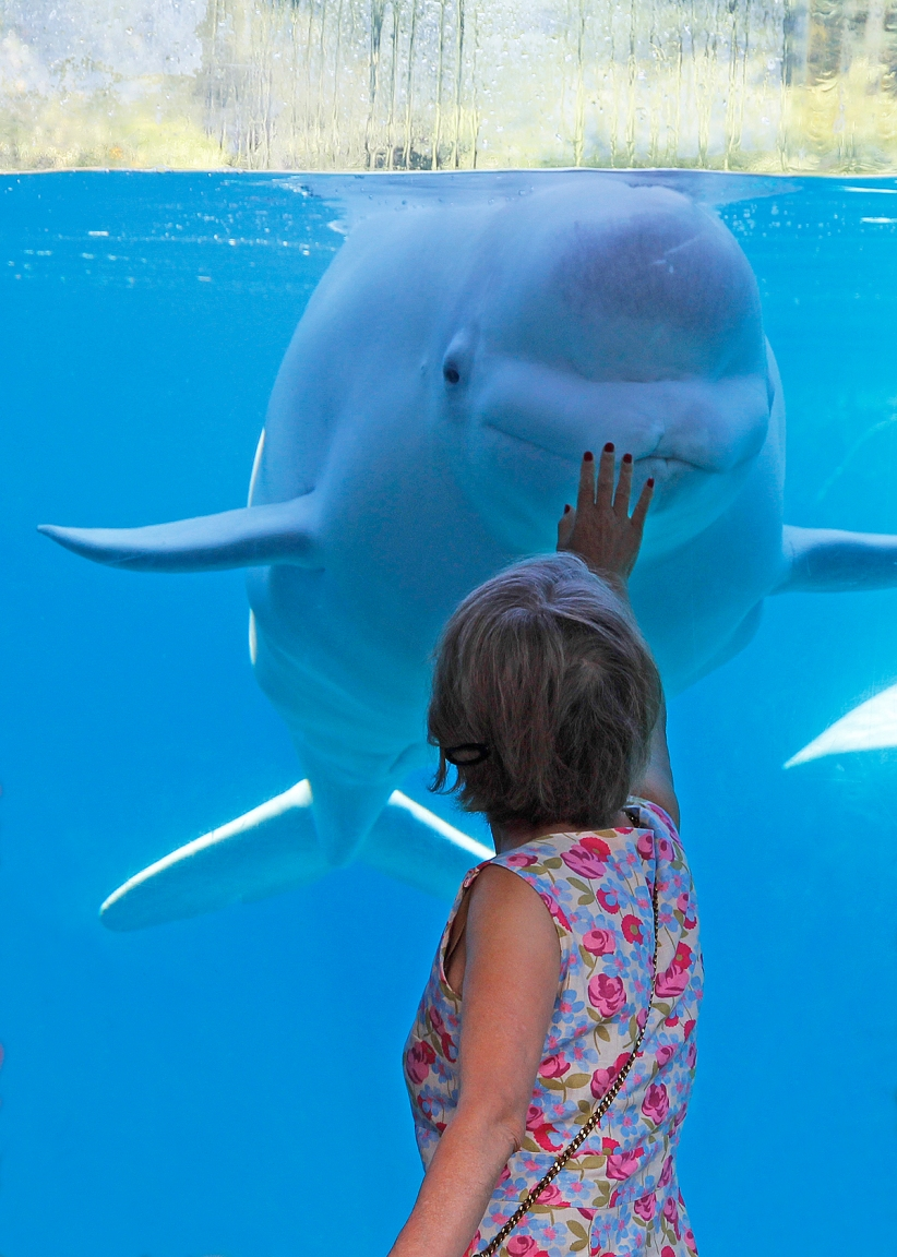 Beluga Whale and visitor, Mystic Aquarium, Mystic, Connecticut. ©Patrick J. Lynch, 2017. All rights reserved.