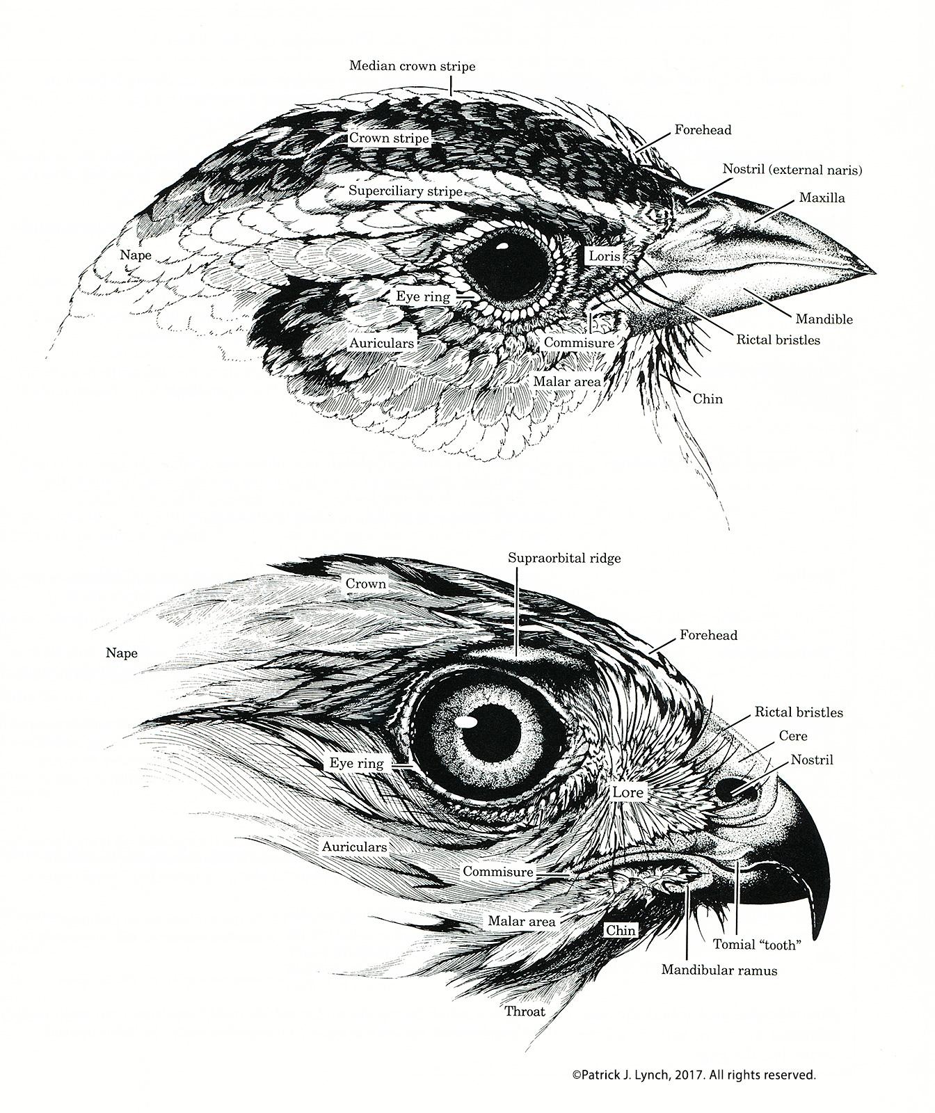 Bird external anatomy - animalcarecollege.info