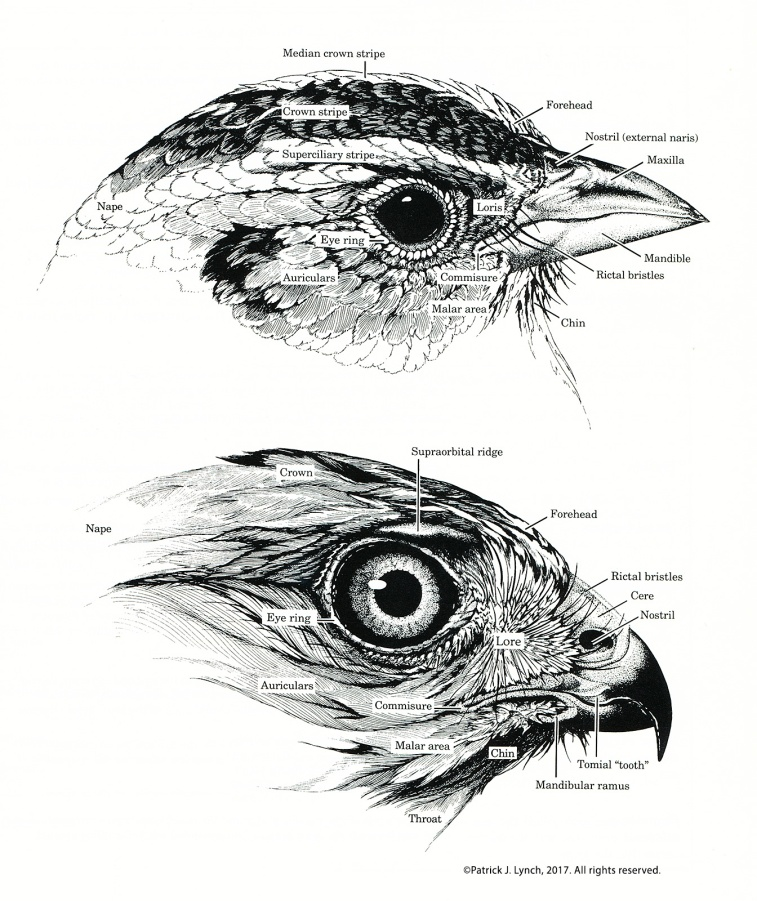 bird-head-anatomy-cropped