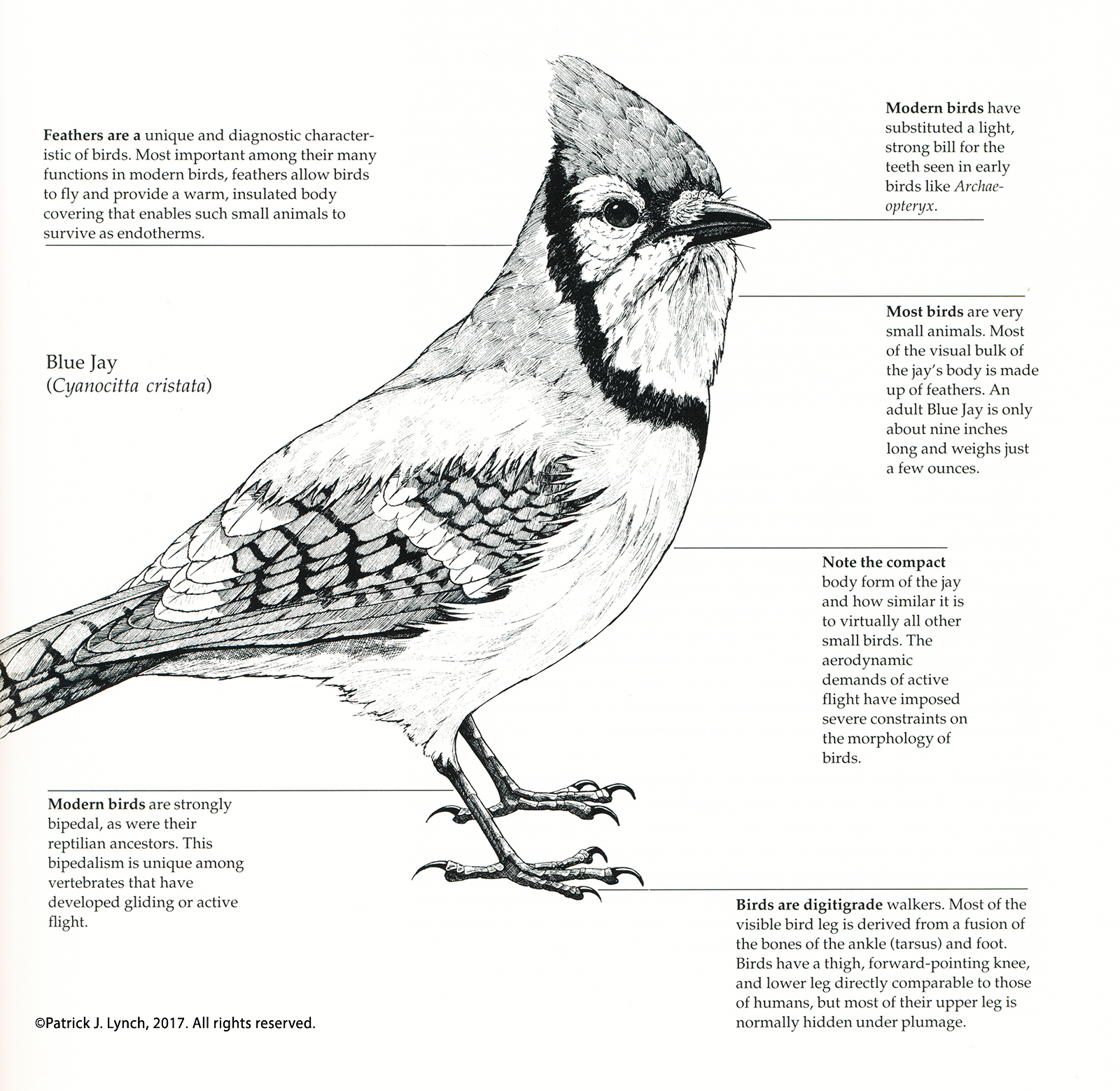 Manual of Ornithology – Patrick Lynch