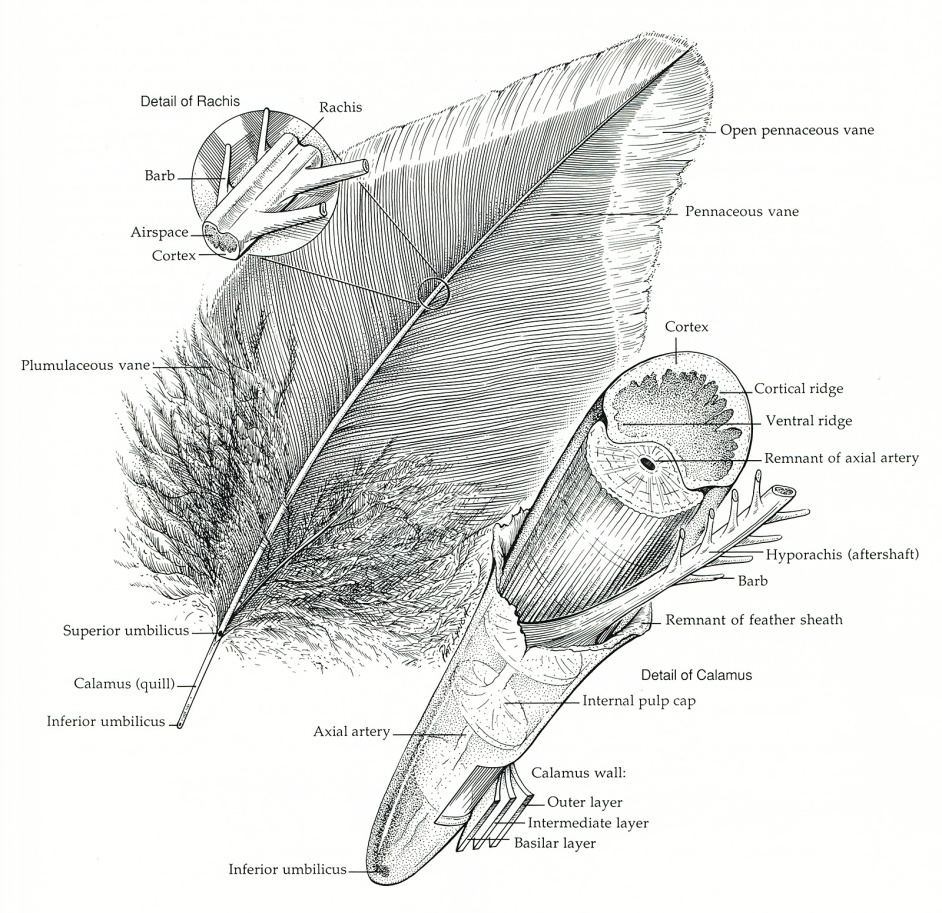 feather-structure-page
