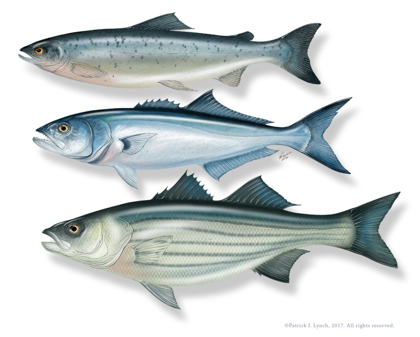 Atlantic Salmon, Bluefish, and Striped Bass. Photoshop. ©Patrick J. Lynch, 2017. All rights reserved.