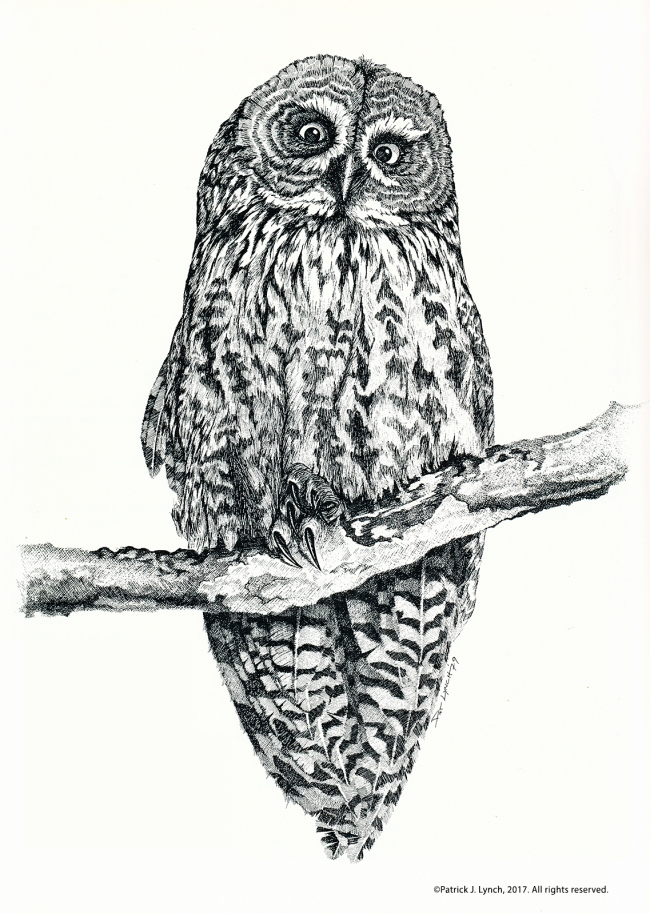 great-gray-owl-drawing-cropped