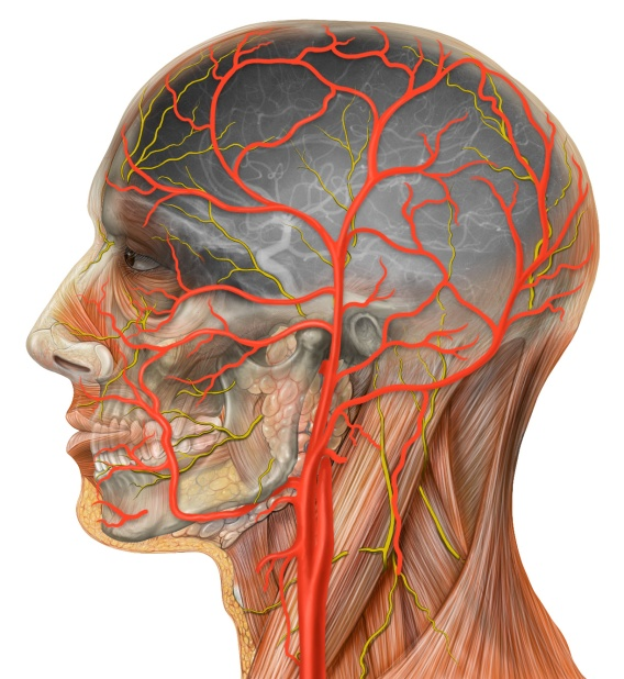 Lateral view of head anatomy drawn in Photoshop, matched with an angiogram of the same viewpoint. Photoshop illustration.