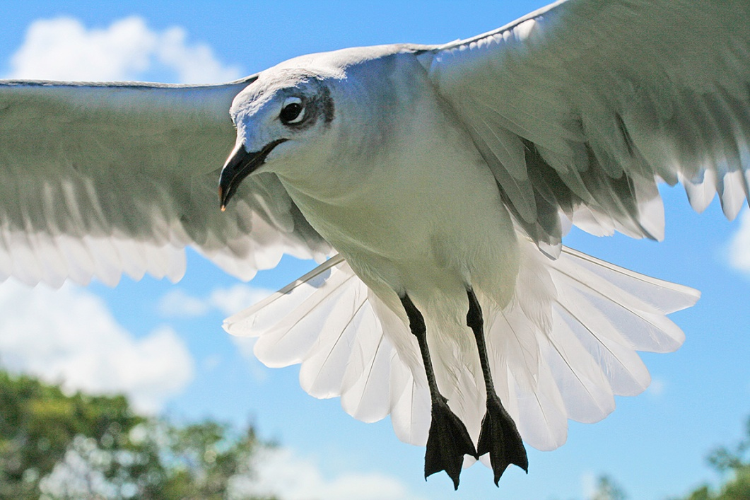 Laughing Gull in flight, Islamorada, Florida Keys, FL. ©Patrick J. Lynch, 2017. All rights reserved.