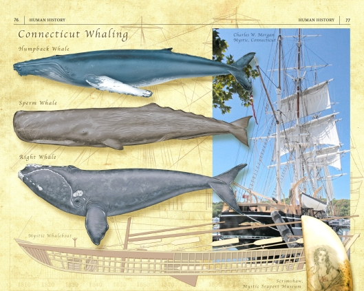 Whales and whaling in Connecticut.