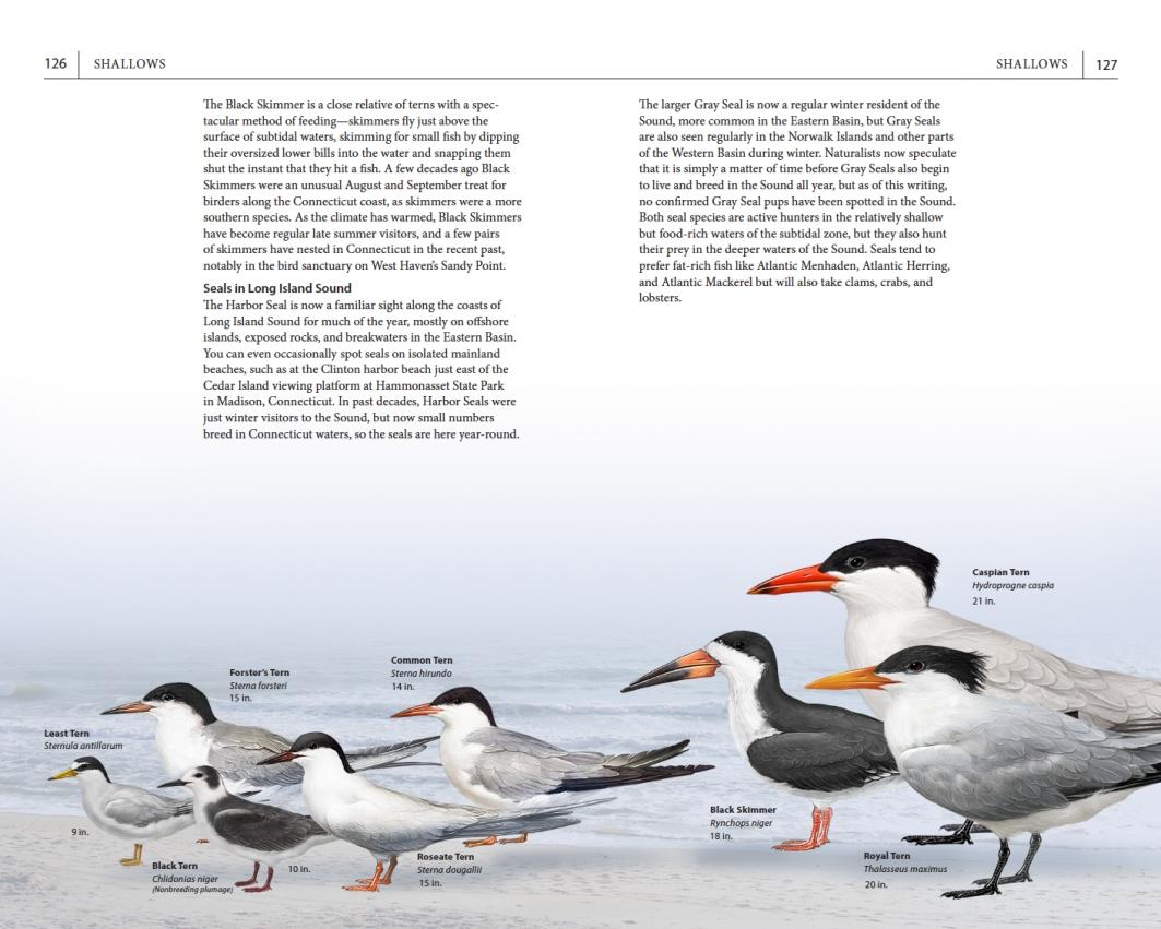 Page spread on tern species.