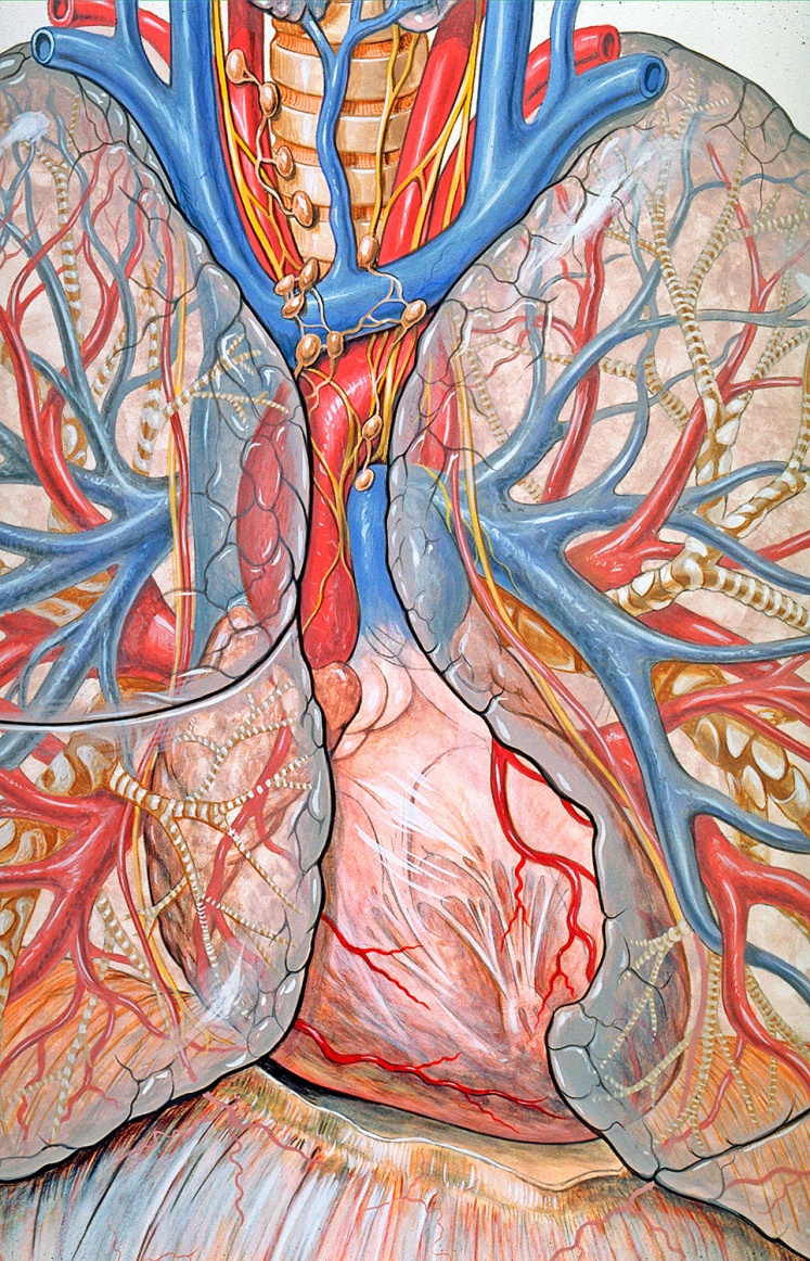 Radiographic anatomy of the mediastinum. Gouache on board.