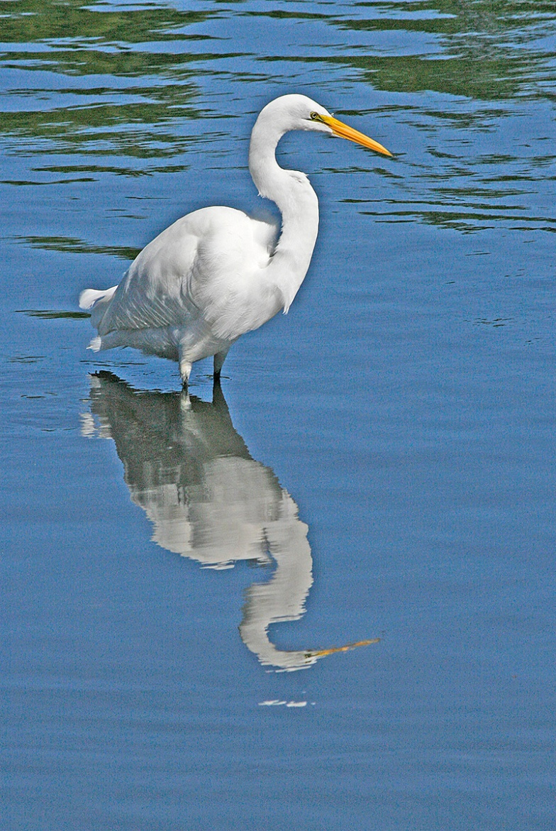 Great Egret, Milford Point, CT. ©Patrick J. Lynch, 2017. All rights reserved.
