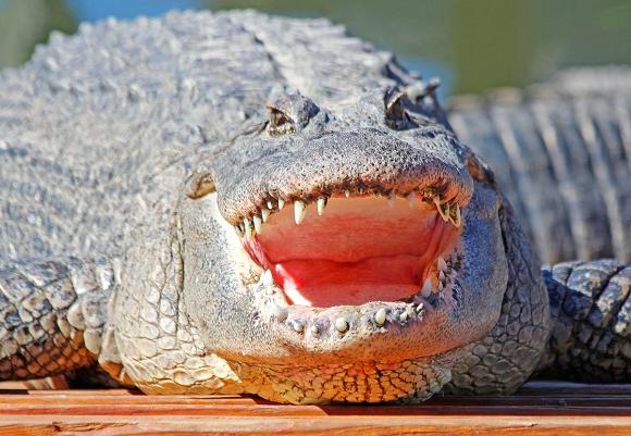 American Alligator, Merritt Island, FL. ©Patrick J. Lynch, 2017. All rights reserved.