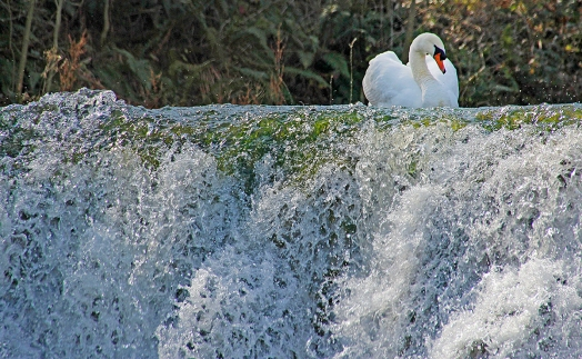 Swan and waterfall, Blenheim Palace, UK. ©Patrick J. Lynch, 2017. All rights reserved.