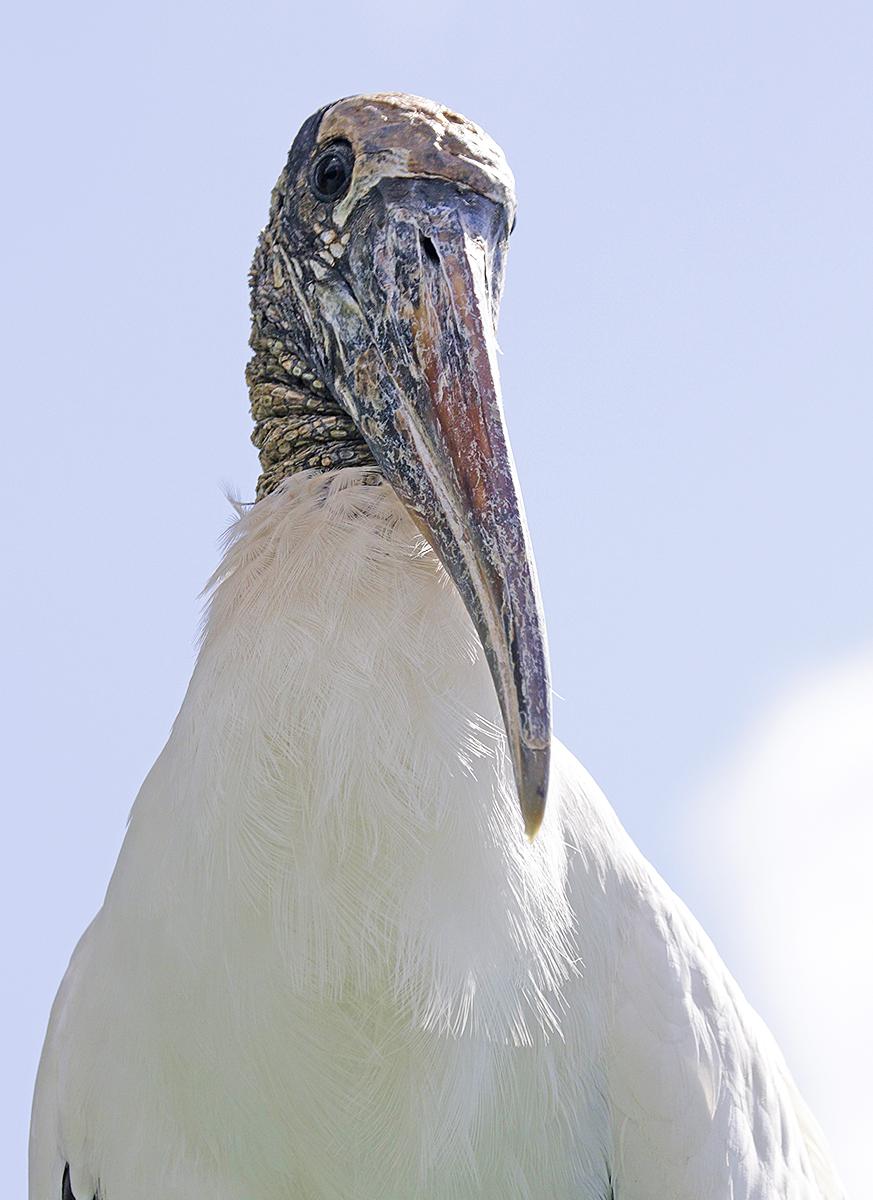 Wood Stork, Merritt Island National Wildlife Refuge, FL. ©Patrick J. Lynch, 2017. All rights reserved.