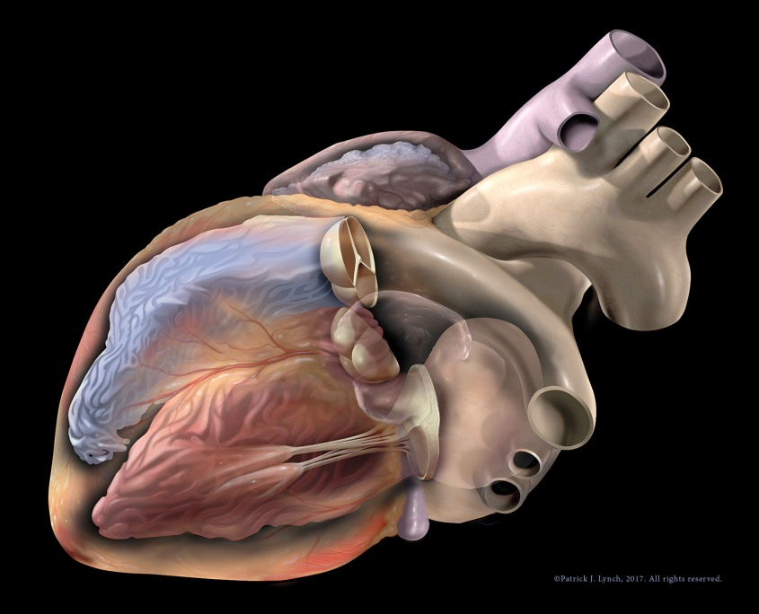 Left anterior oblique view of heart structures.
