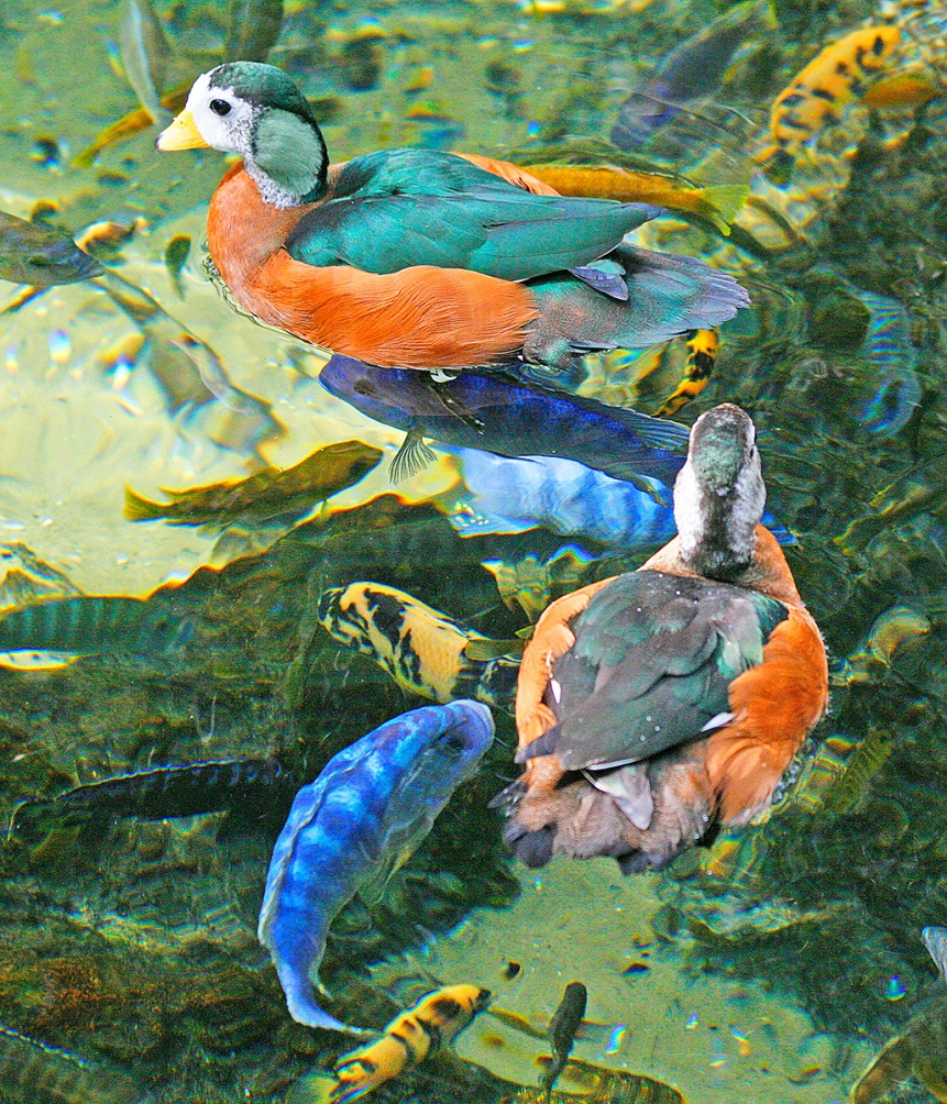 African Pygmy Geese and Lake Cichlids, Animal Kingdom, Walt Disney World, Orlando, FL. ©Patrick J. Lynch, 2017. All rights reserved.