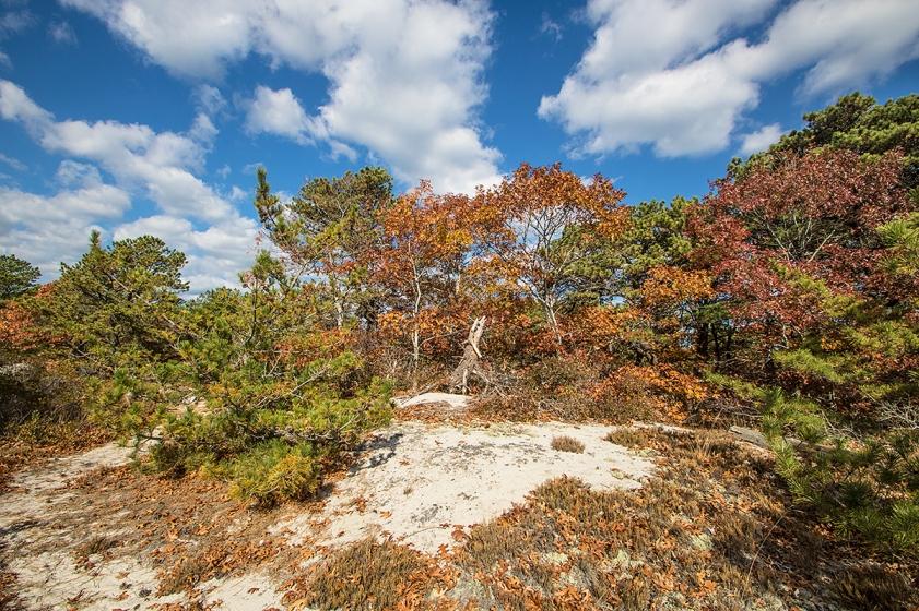 Atlantic coastal pine barrens habitat, Sandy Point, Barnstable, Cape Cod, MA. ©Patrick J. Lynch, 2017. All rights reserved.