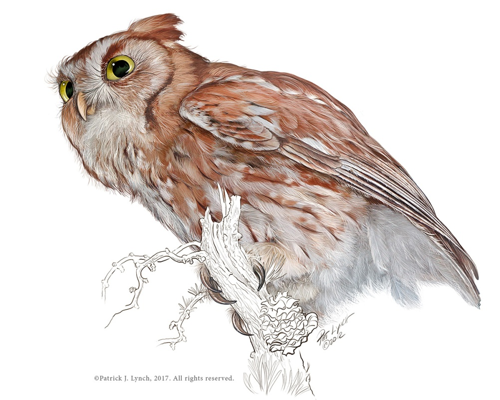 Screech Owl, red phase. Photoshop. Structure of salt marshes on the northeastern coast of the U.S. Photoshop. ©Patrick J. Lynch, 2017. All rights reserved.