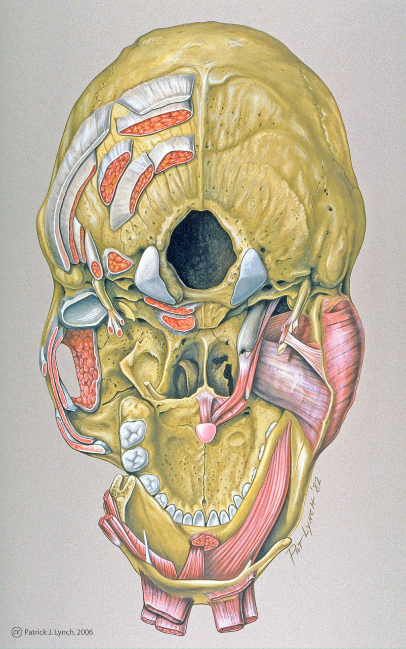 Anatomy of the skull base muscular attachment points. Gouache on board.