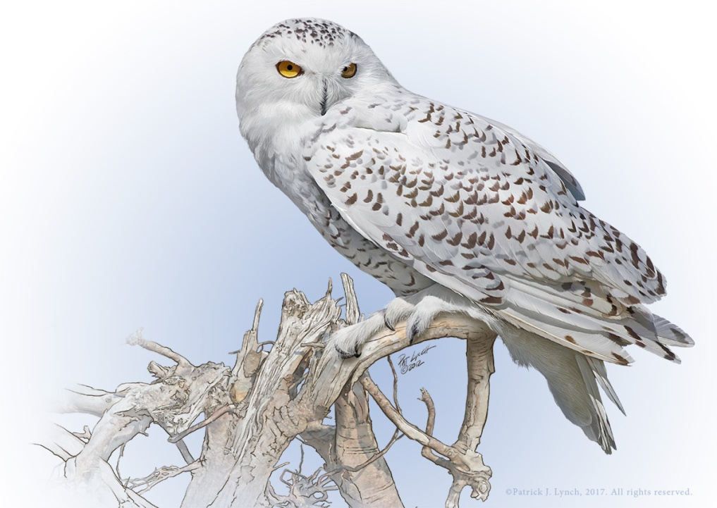 Snowy Owl. Photoshop. ©Patrick J. Lynch, 2017. All rights reserved.