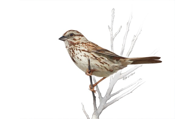 Song Sparrow. Photoshop. ©Patrick J. Lynch, 2017. All rights reserved.