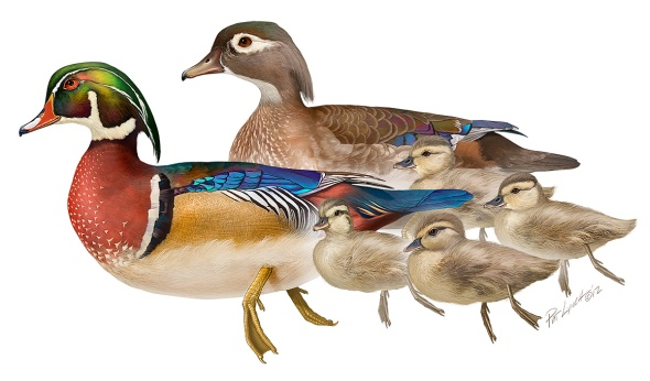 Wood Duck family. Photoshop. ©Patrick J. Lynch, 2017. All rights reserved.