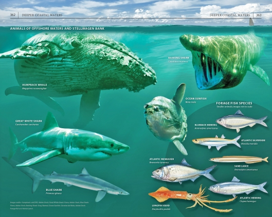 """Page spread on the animals of offshore waters and Stellwagen Bank, from """"A Field Guide to Cape Cod."""""""