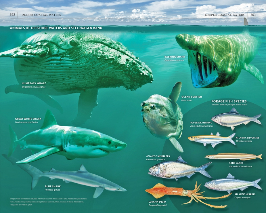 "Page spread on the animals of offshore waters and Stellwagen Bank, from ""A Field Guide to Cape Cod."""