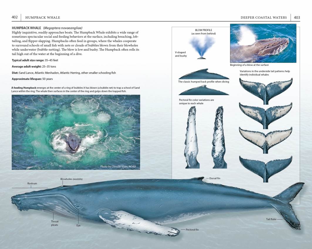 "Page spread on the Humpback Whale, from ""A Field Guide to Cape Cod."""
