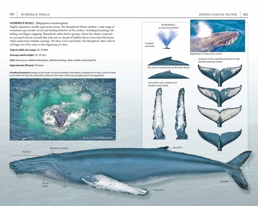 """Page spread on the Humpback Whale, from """"A Field Guide to Cape Cod."""""""
